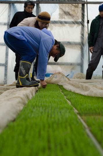Rice seedlings growing at Yamamoto Farm in Inashiki, Japan