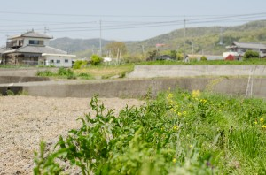 Okitsu-san's Natural Farm on the Right, a conventional farm on the left (Photo: P.M. Lydon)